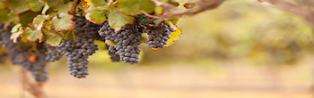 Clinging To The Vine